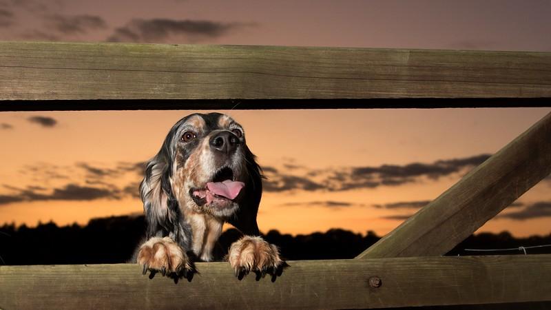 Sunset-English-Setter-Gertie.jpeg