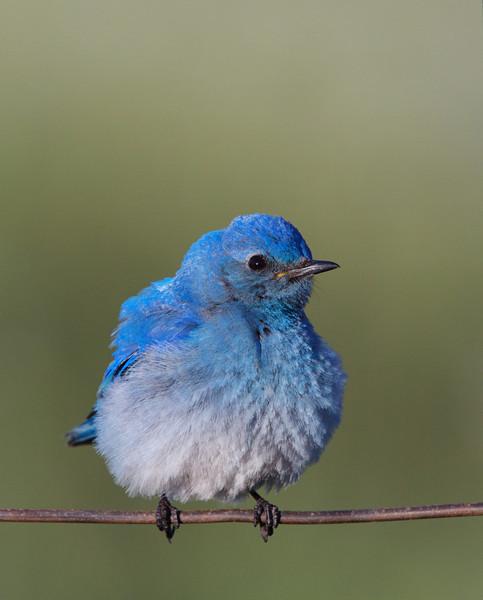 Mountain Bluebird all puffed up