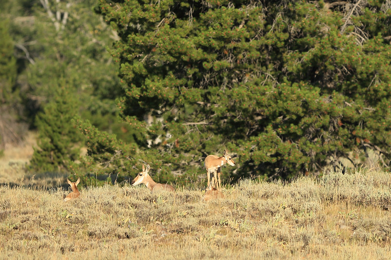 Pronghorn Antelope sunning themselves along the Park Road in Grand Teton National Park, Wyoming.