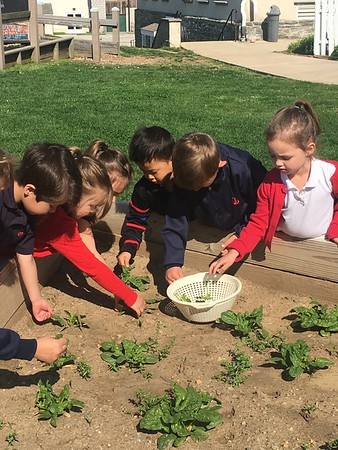 PreKD Harvests and Tastes Spinach