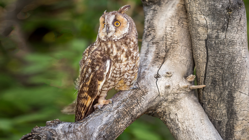 050010 Long-Eared-Owl-0039-16x9.jpg