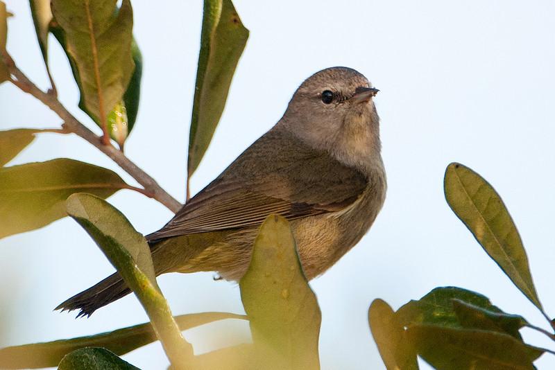 Warbler - Orange-crowned - Lake Henrietta - Tallahassee, FL