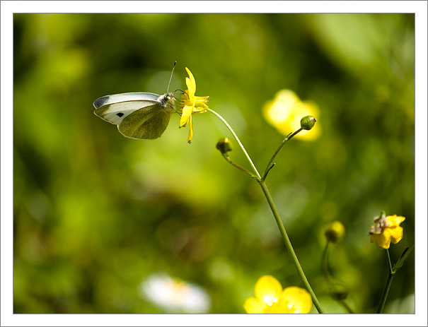 Kameramies Butterfly from Lucca, Italy