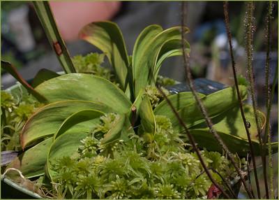 Sarracenia oreophila