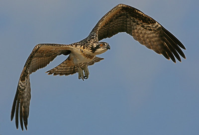 Overlook Beach Osprey Nests - Islip, NY