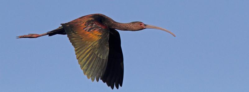 ibisflightwingsdown1600.jpg