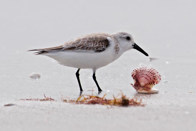 Sanderling - Sanibel Island, FL