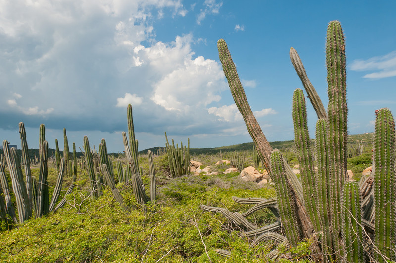Several of the many cacti on the island of Aruba