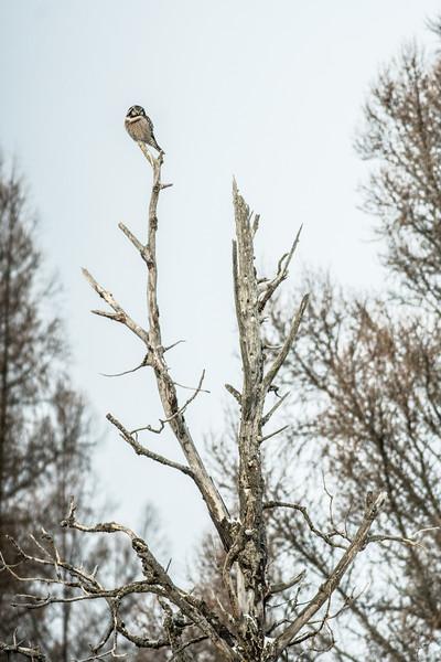 Northern Hawk Owl Beltrami County MN-00503.jpg