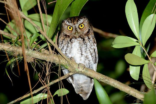 Bearded Screech-Owl (Megascops barbarus)