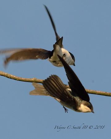 Tree Swallow Love