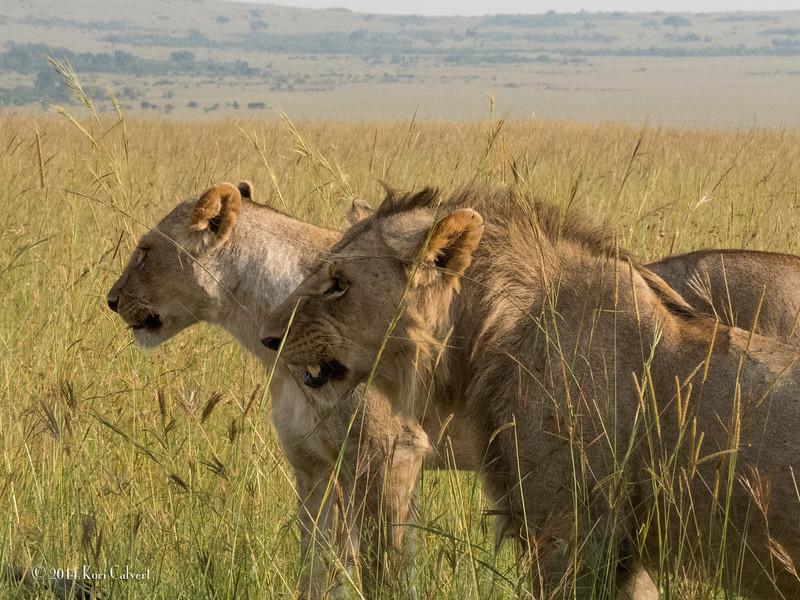 Lions Masai Mara - K-2.jpg