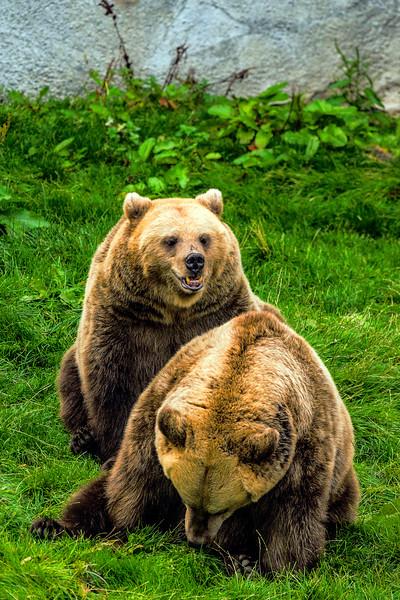 Brown Bear - Ruskeakarhu - Ursus arctos