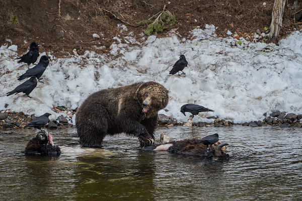 Grizzly Bears and Bison Carcasses Yellowstone National Park 2014