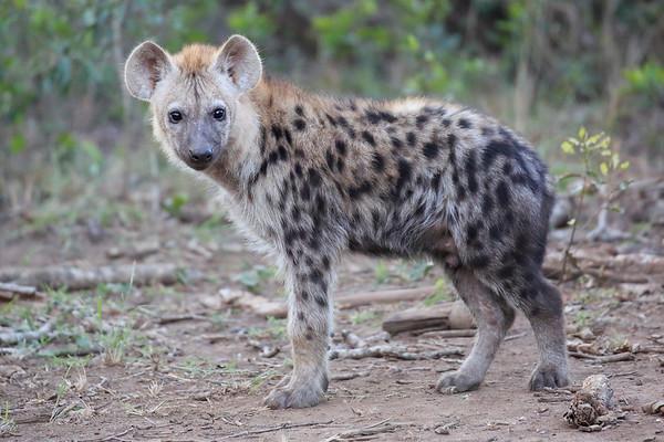 Hyena Phinda and MalaMala South Africa 2016