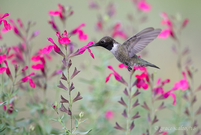 BC hummingbird_S240997.jpg