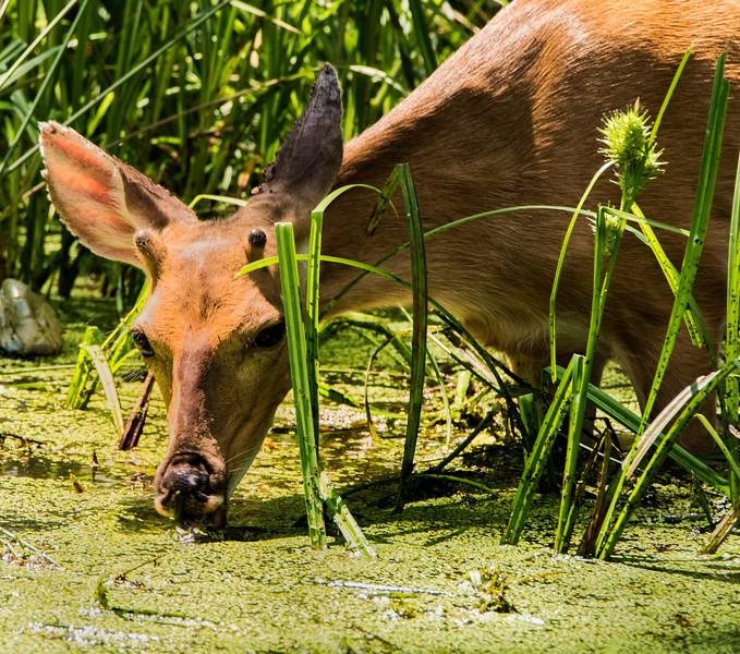 Young Deer having Breakfast