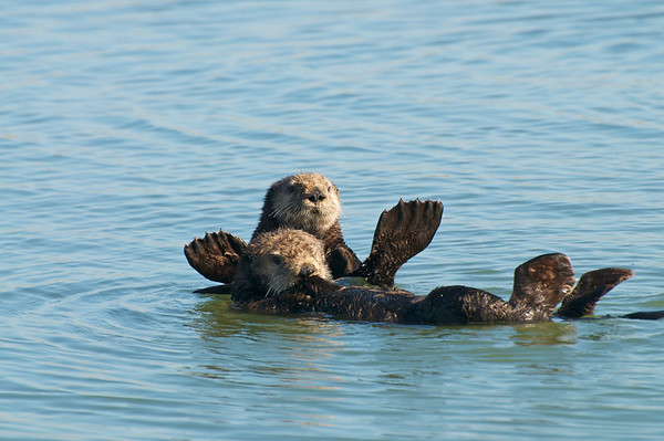 California Sea Otters - Elkhorn Slough