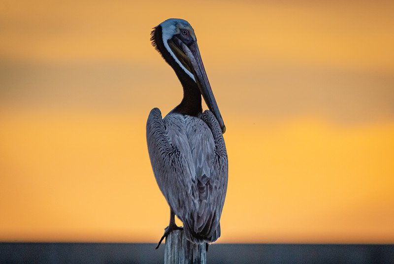 Pelican Yellow Sunrise 2 060521-.jpg