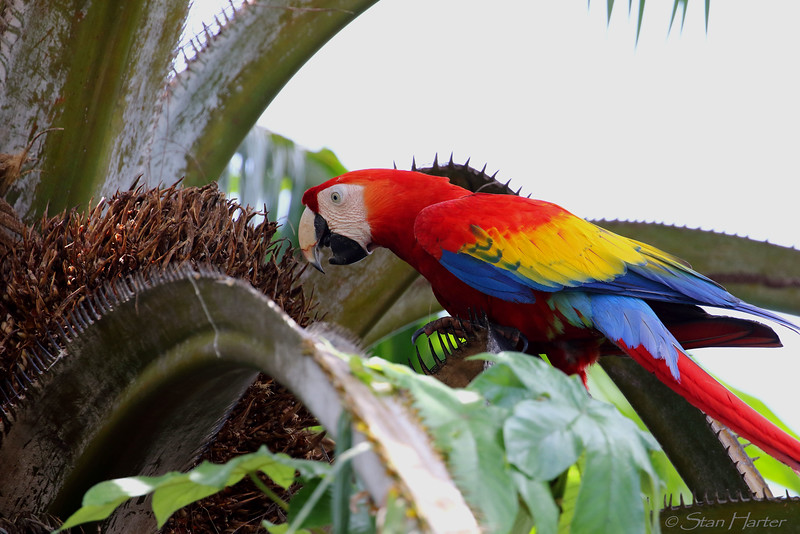 Scarlet Macaw eating palm nuts.jpg