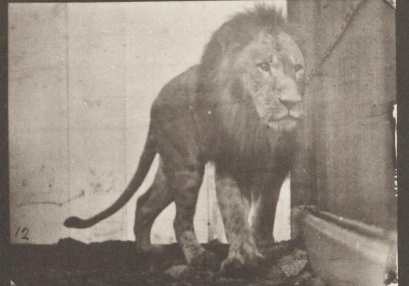 Lion walking and turning around