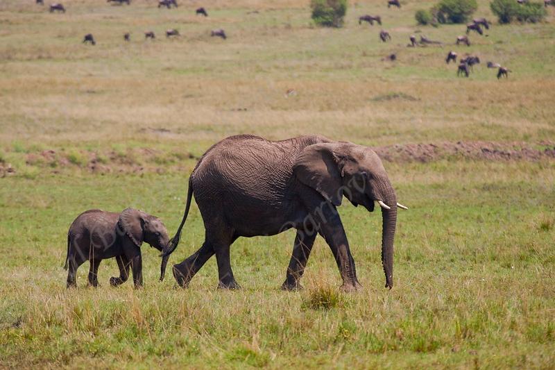 Elephant, פילים, , Loxodonta africana