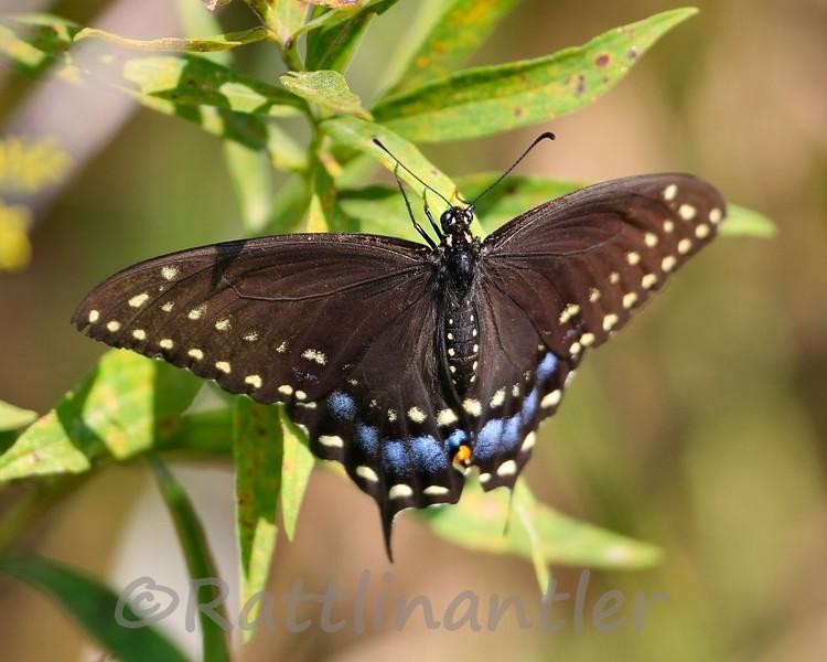 Swallowtail91109_001.jpg
