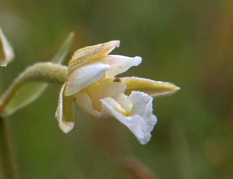 E. palustris Vlieland 24-07-13 (1).jpg