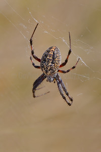 Spiders of Antelope Island