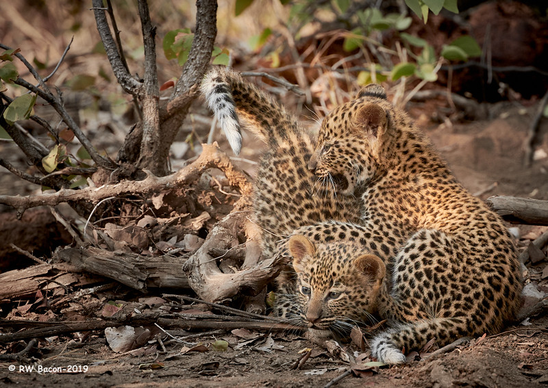 Leopard Siblings.jpg