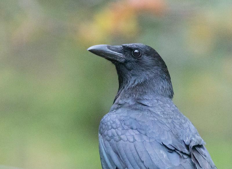 American Crow Skogstjarna Carlton County MN DSC07589.jpg