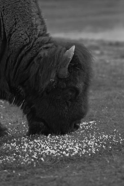 Bison Breakfasts II