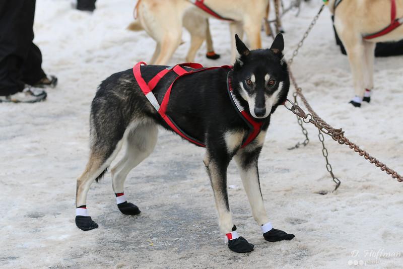 Alaska - Iditarod puppy
