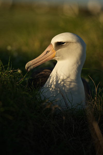 Layson Albatross Portrait - Midway Island, North Pacific  Grass is not everywhere on the island.  The birds certainly don't appear to be finiky on where they chose to nest.  This fellow (I think he's a he) found what appears to be a very comfortable grass lined spot on this relatively rocky island.