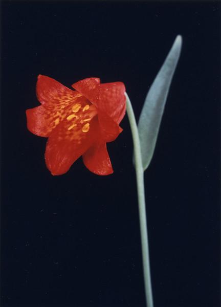 Scarlet Fritillary.jpg