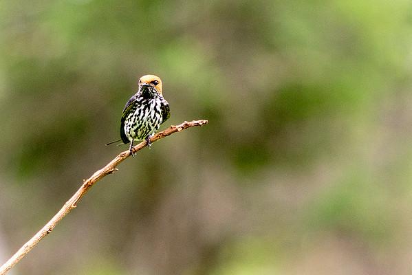 Family: Hirundinidae (swallows and martins)