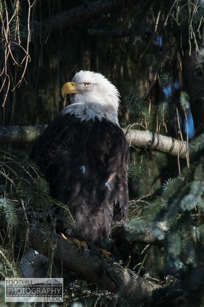 Eagle Sml-21.jpg