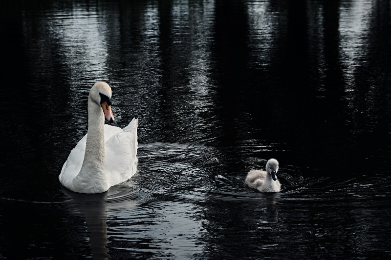Swans_Of_Castletown037.jpg