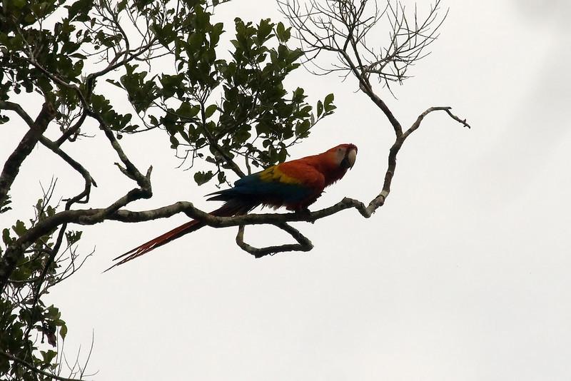 Scarlet Macaw at Manu Wildlife Centre, Peru (2008-07-08).psd