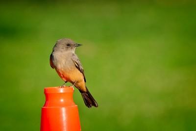 Yuma Birds November 2020