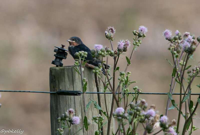 6/23/2014.  Another one on a different  fencepost