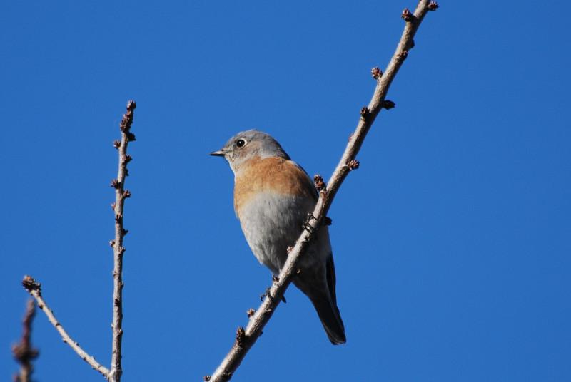 Western Bluebird (5).JPG