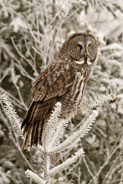 Owl - Great Gray - Itasca County Road 10 - MN