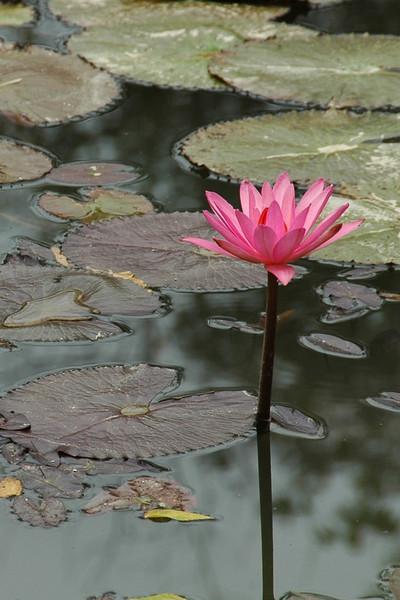 Lilies - Nong Khiaw, Laos