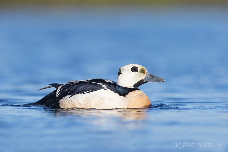 Steller's Eider Drake on calm tundra pond