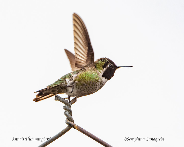 _DSC1641Anna's Hummingbird take-off.jpg