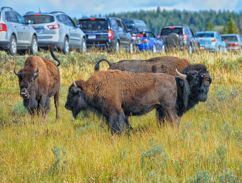 Bison Woes