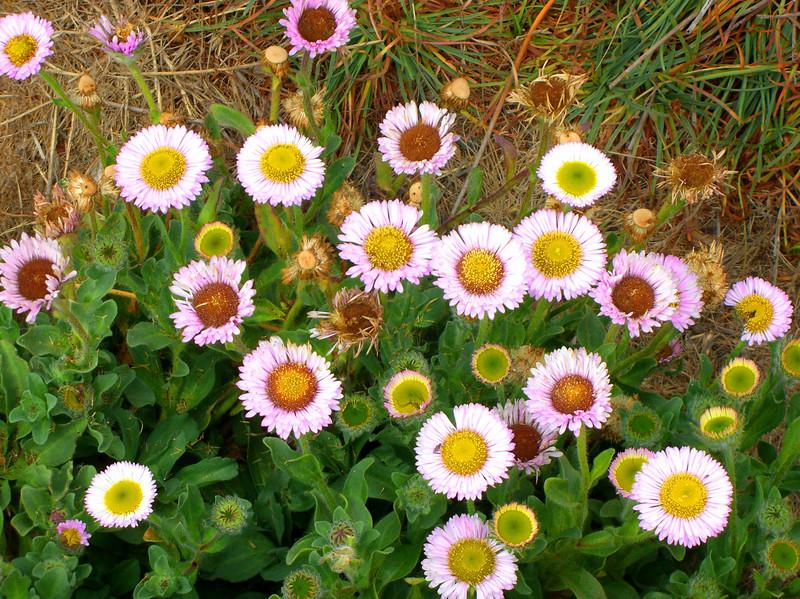 23-85 wild daisies.JPG