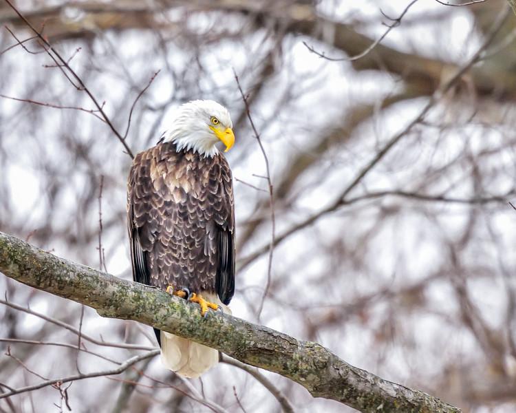 -_Bald Eagle 2014-12-18-10.jpg