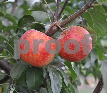 not-all-crabapple-varieties-are-crabby